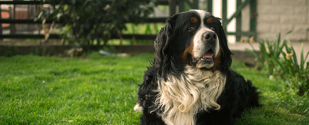 Large fluffy dog laying down