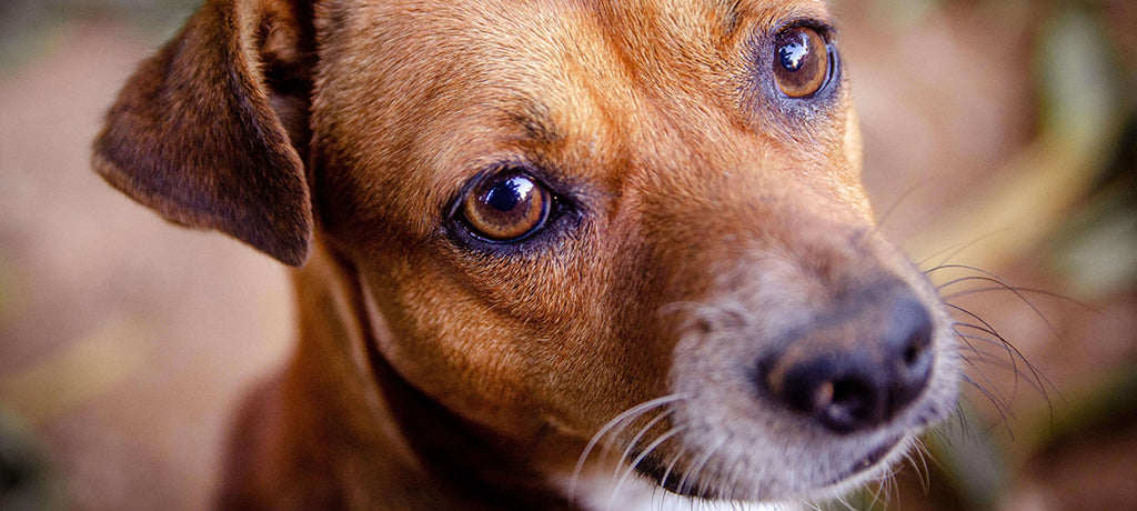 small brown dog with runny eyes