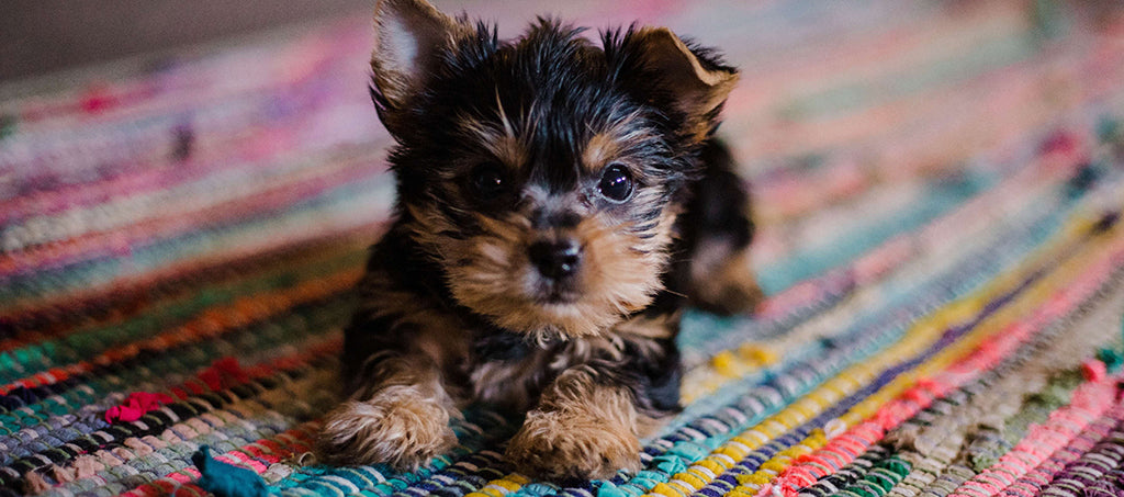 small puppy on rug