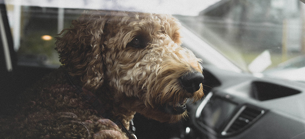 poodle in car