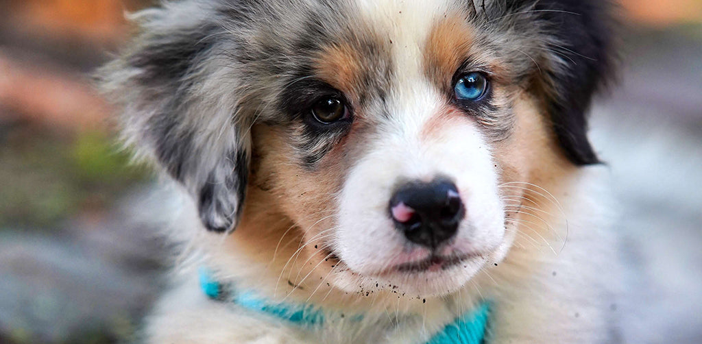puppy with one blue eye and one brown eye