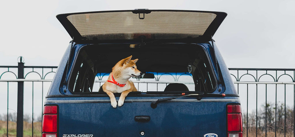 dog in boot of car