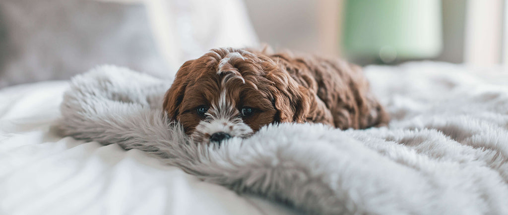 doodle puppy on bed