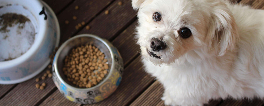 small white dog with food in bowl