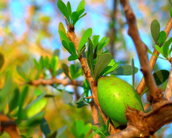 Argan Oil: The Indigenous Super-Oil from Morocco