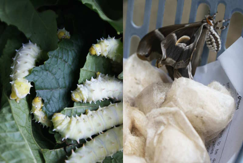 picture of silk worms before and after in the cocoon
