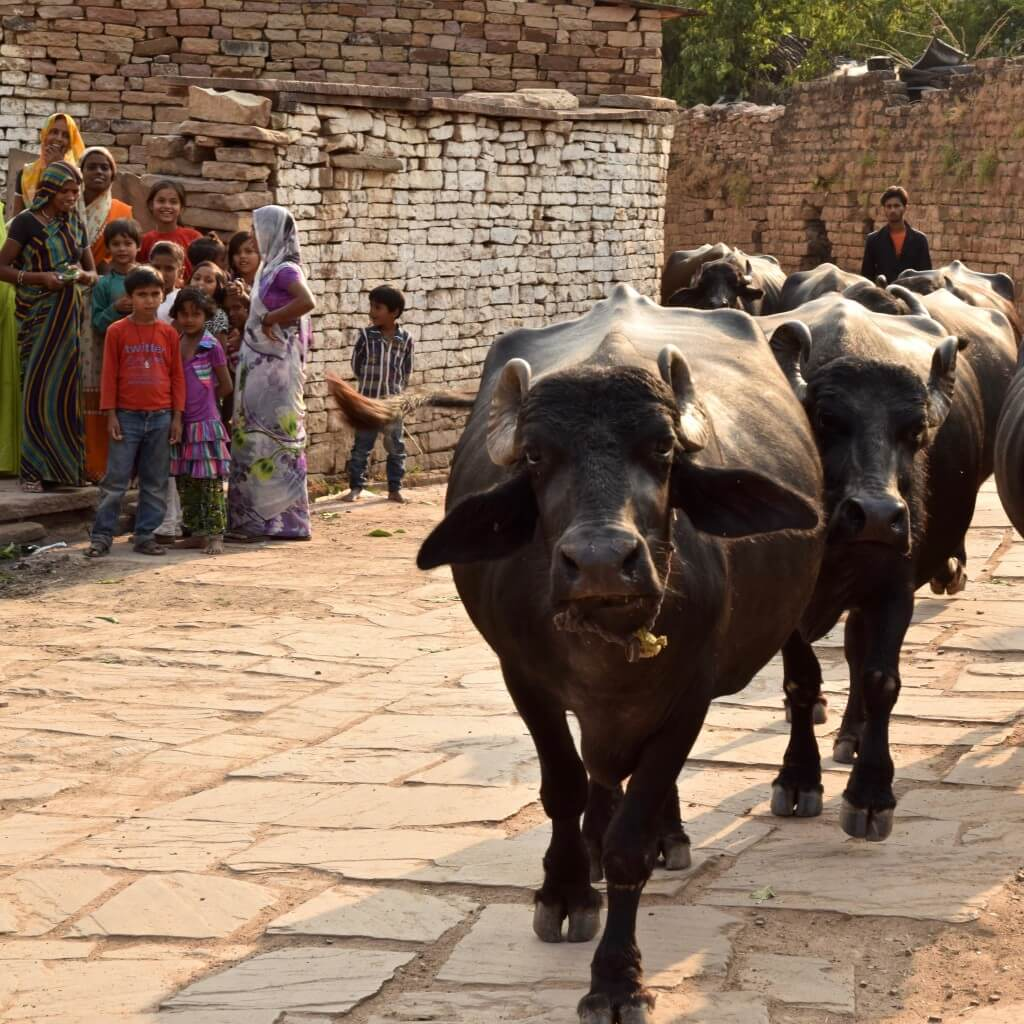 Bulls in the streets of India