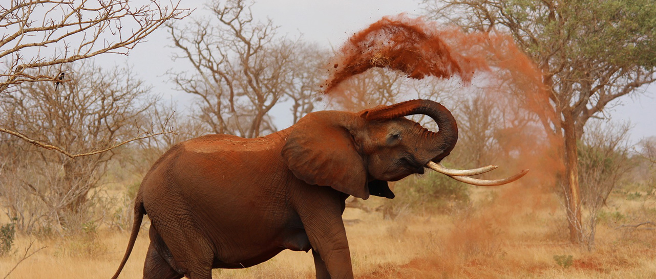 elephant throwing up red sand in kenya