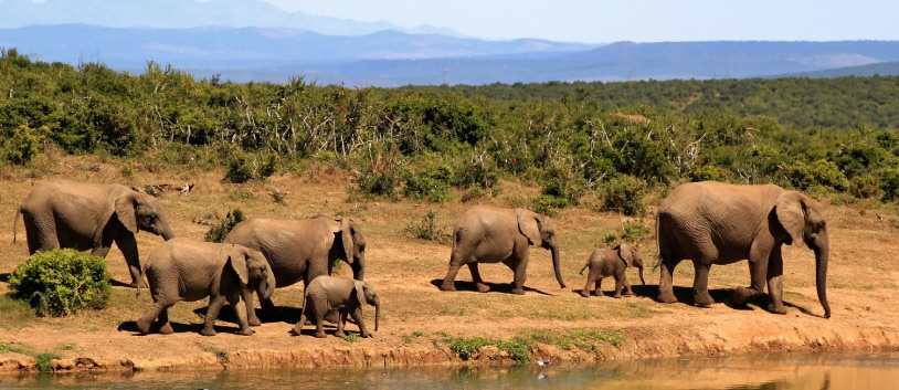elefants in south africa