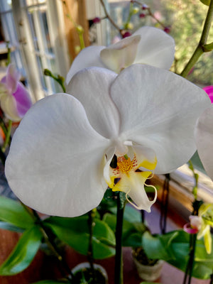 New! Maui Grown Phalaenopsis Orchid ~ One & Two Spike - Live Plant Arrangement