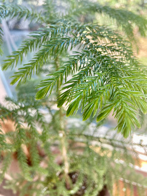Live Potted Maui Christmas Tree 2'-4' ~ RSVP Limited item. Available for delivery November 1 - December 23