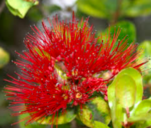 Unique Native Hawaiian Special ~ Native to Hawaiʻi. The ʻōhiʻa lehua plant and an abundant Bouquet.