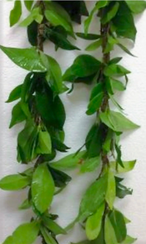Maile ~ Rare ~ Good Luck ~ Grow for lei's or decoration ~ Fragrant