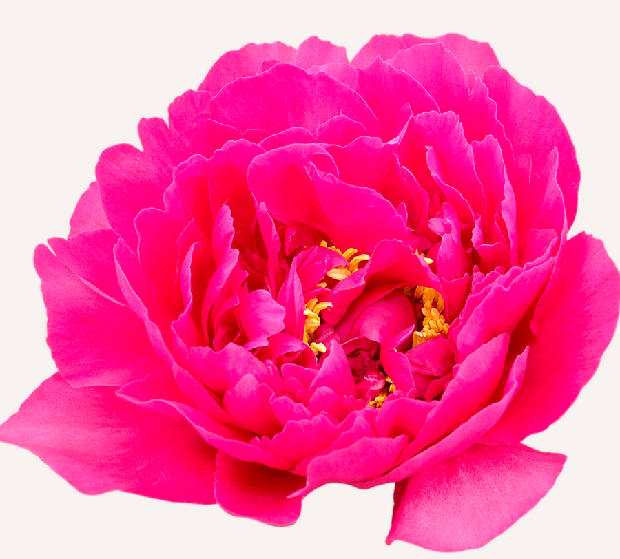 Lovely Peonies ~ Orders for this item must be made 7-10 days in advance