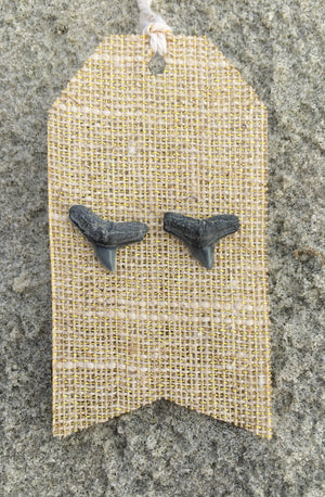 Natural Shark Tooth Stud Earrings - Foxy Fossils