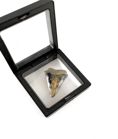 fossilized great white shark tooth with display case — Foxy Fossils