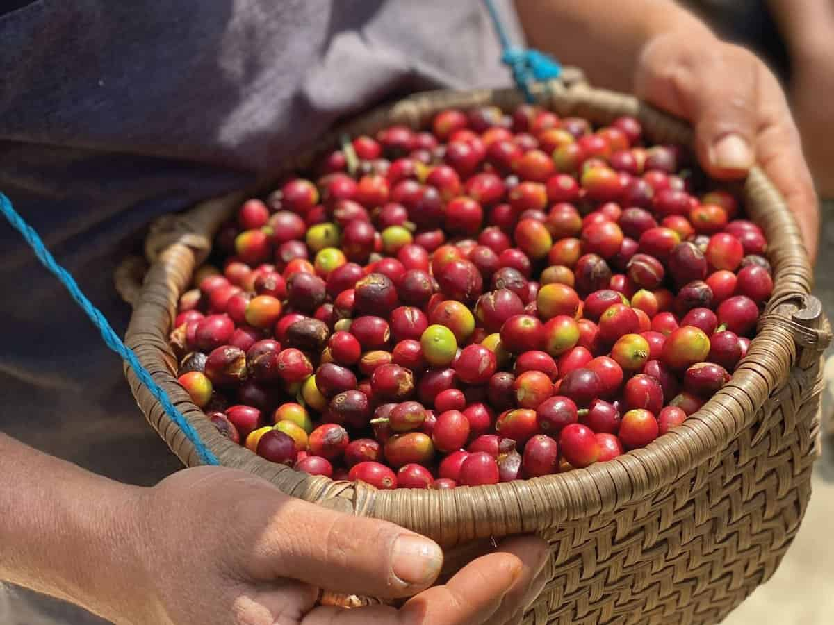 Coffee cherry in a basket in Mexico