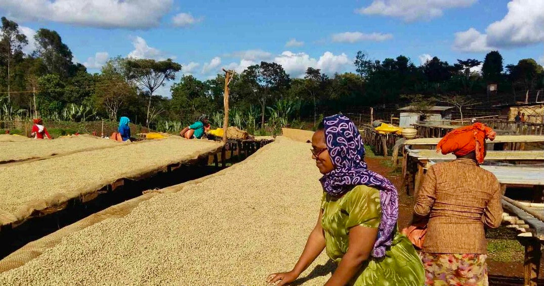 Coffee drying beds and coffee producers