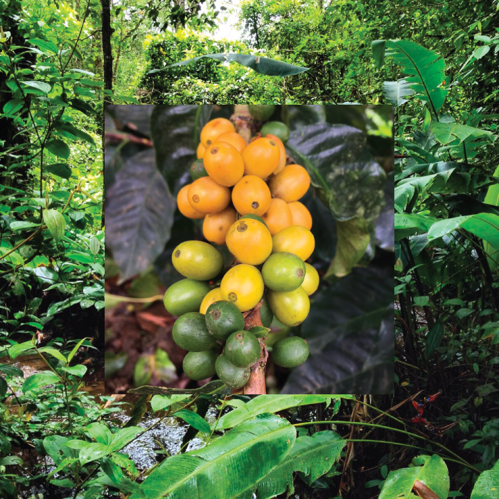 Gold Mountain Coffee Growers Rainforest and Coffee Cherries