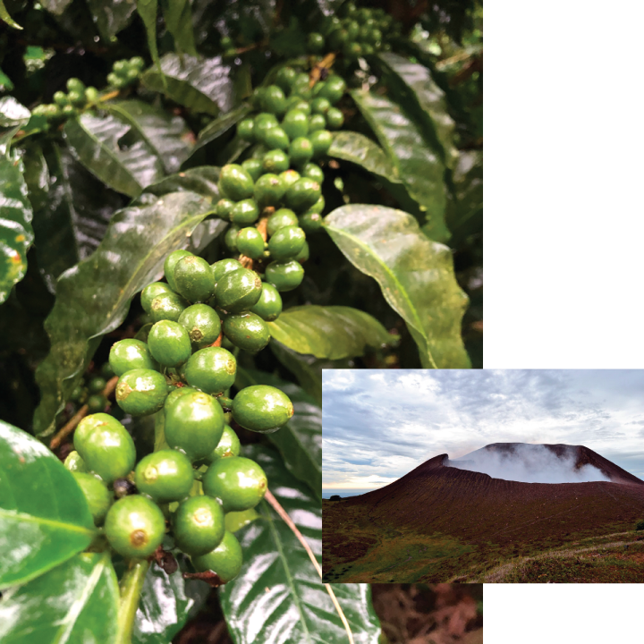 Volcano and Green Coffee at Gold Mountain Coffee Growers