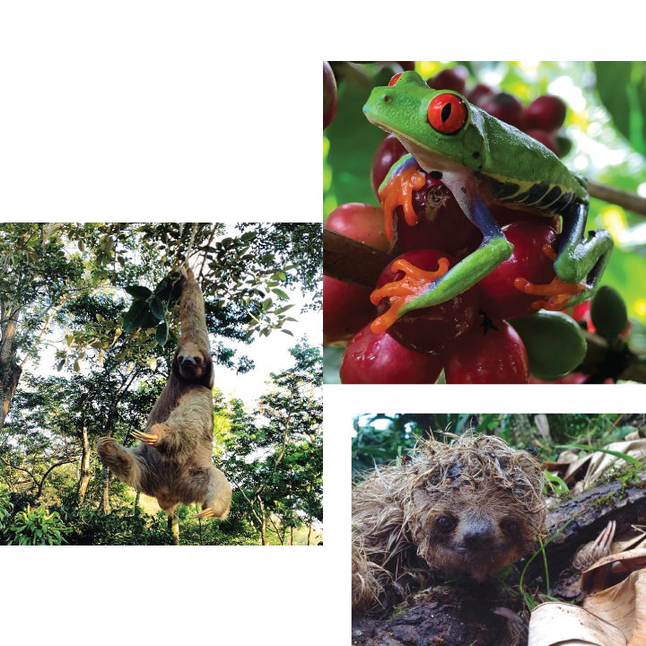 Sloths and Frog at Gold Mountain Coffee Growers