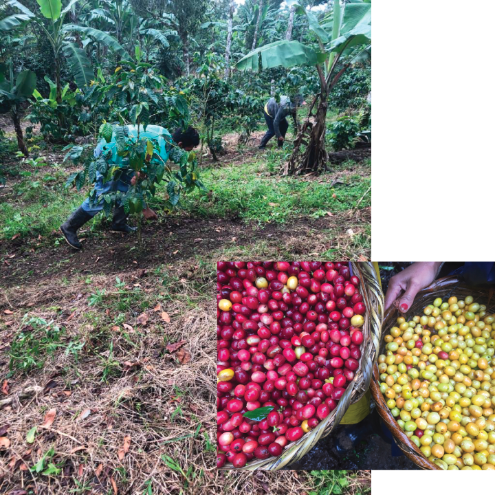 Weeding and Coffee Cherries at Gold Mountain Coffee Growers