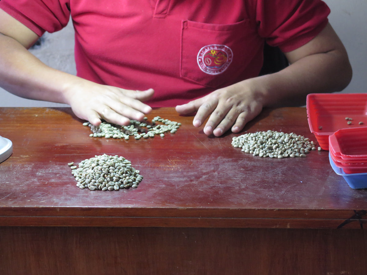 Sorting Through Green Coffee Beans