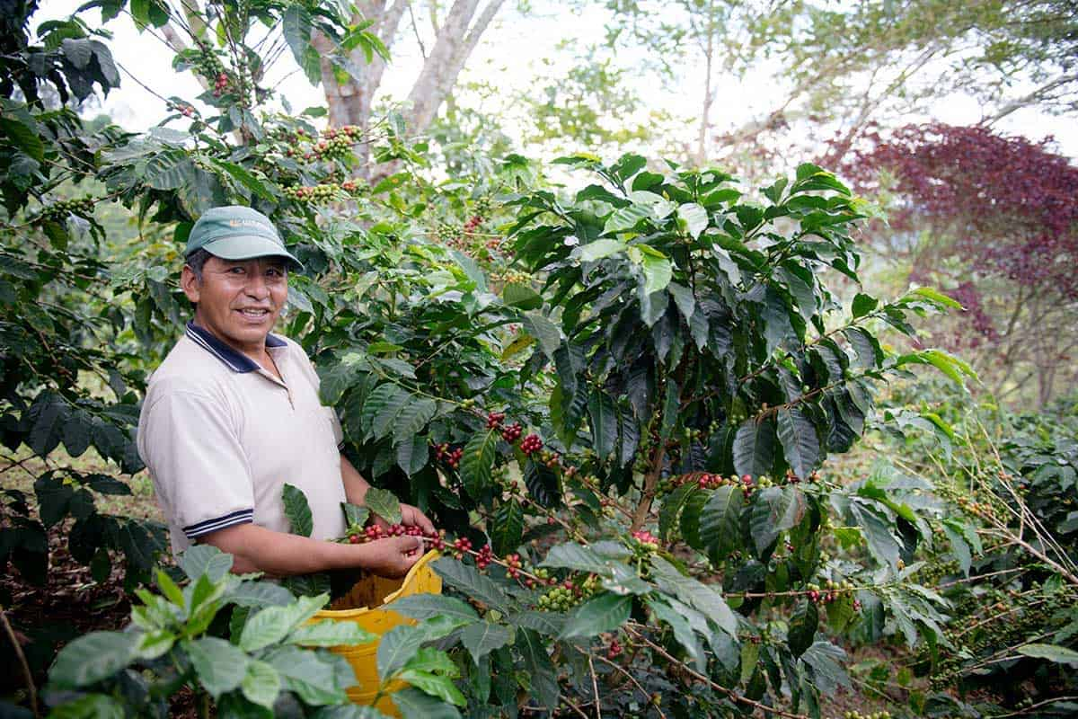 A coffee producer standing next to coffee trees on his farm