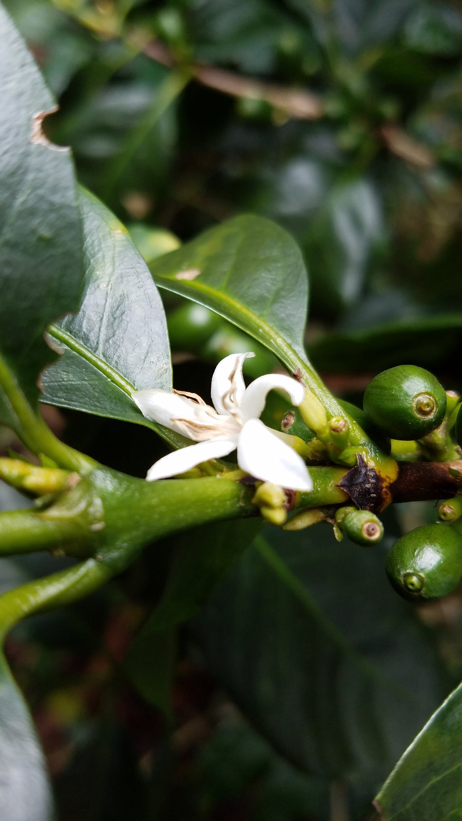 Coffee flower on the Imbachi farm