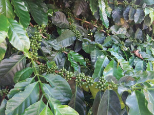 Coffee plants from his farm