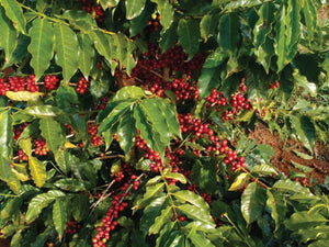 Red ripe coffee cherries on his farm