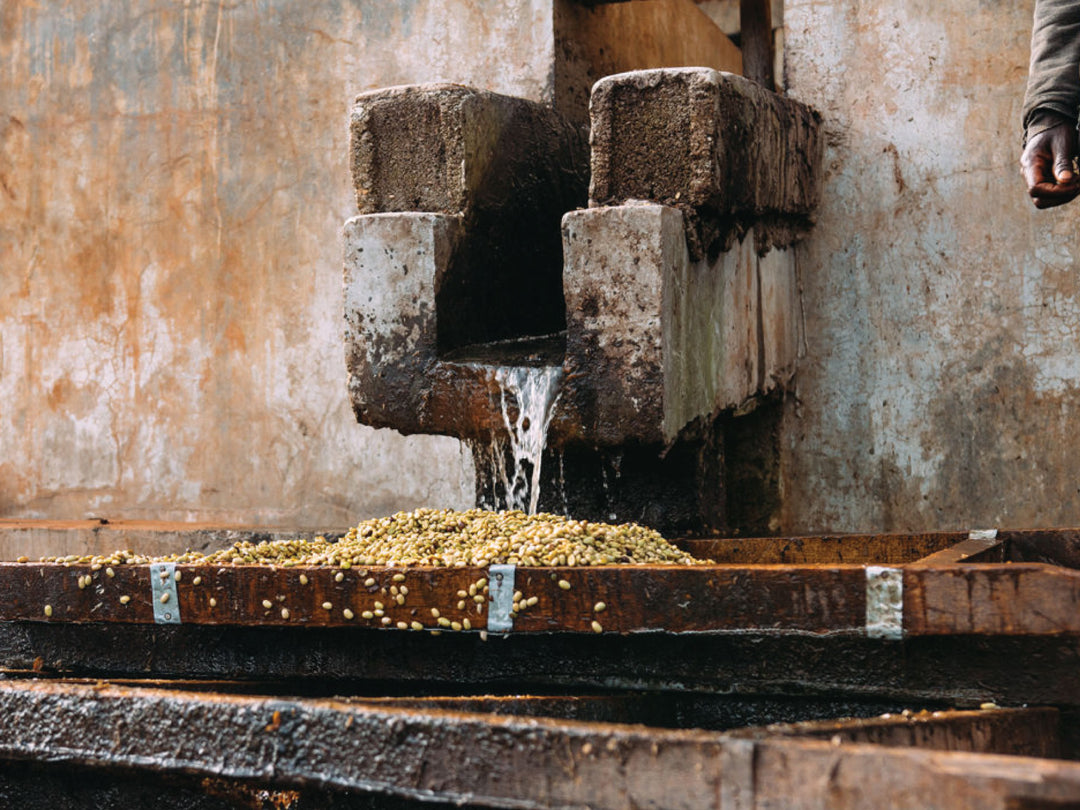 Washing the pulp off of coffee at the Suke Quto washing station in Ethiopia