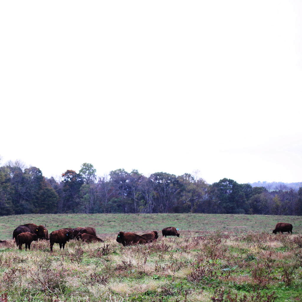 Bison on Woodland Farm