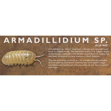 Armadillidium sp. Albino - Isopod Label