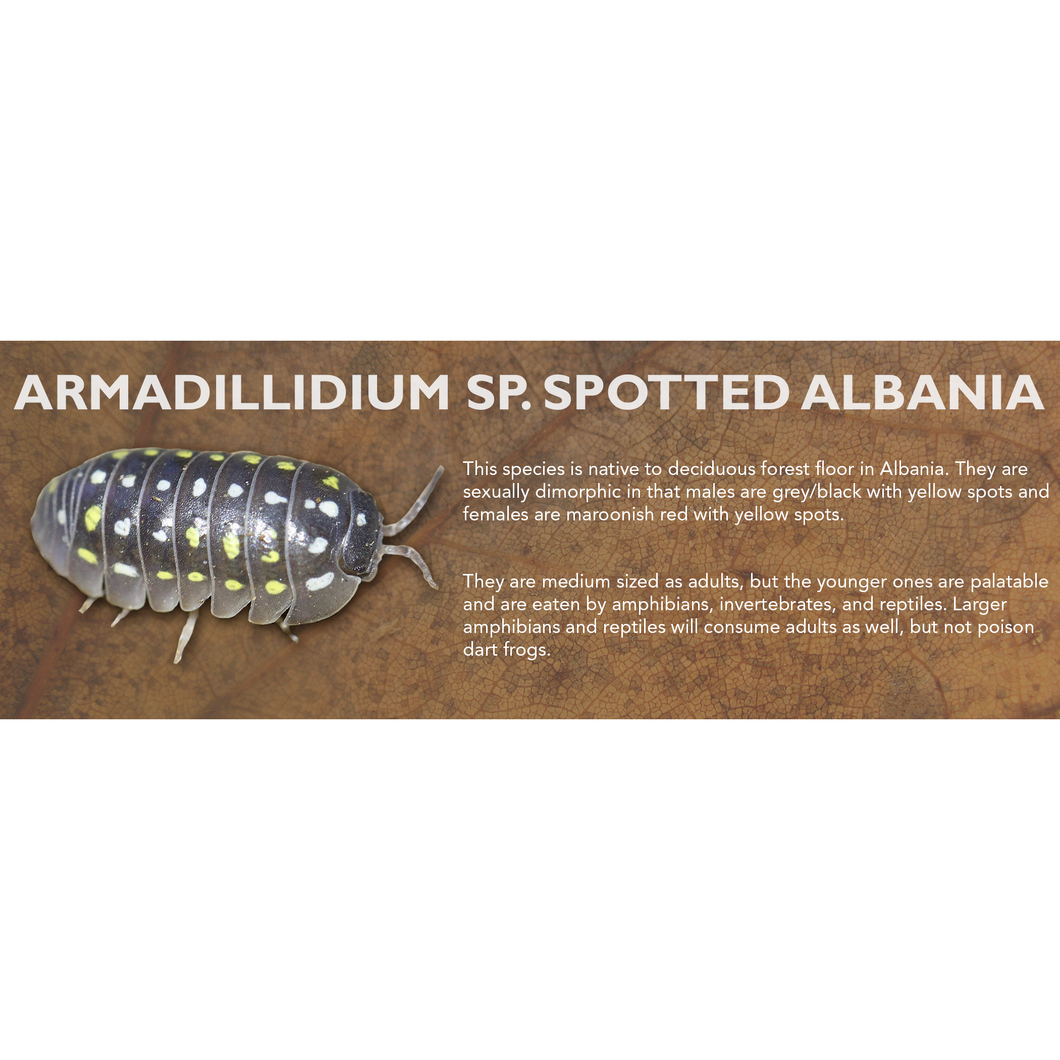 Armadillidium sp. Spotted Albania - Isopod Label