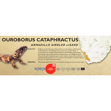Armadillo Girdled Lizard (Ouroborus cataphractus) Standard Vivarium Label
