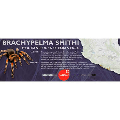 Mexican Red-Knee Tarantula (Brachypelma smithi) - Standard Vivarium Label