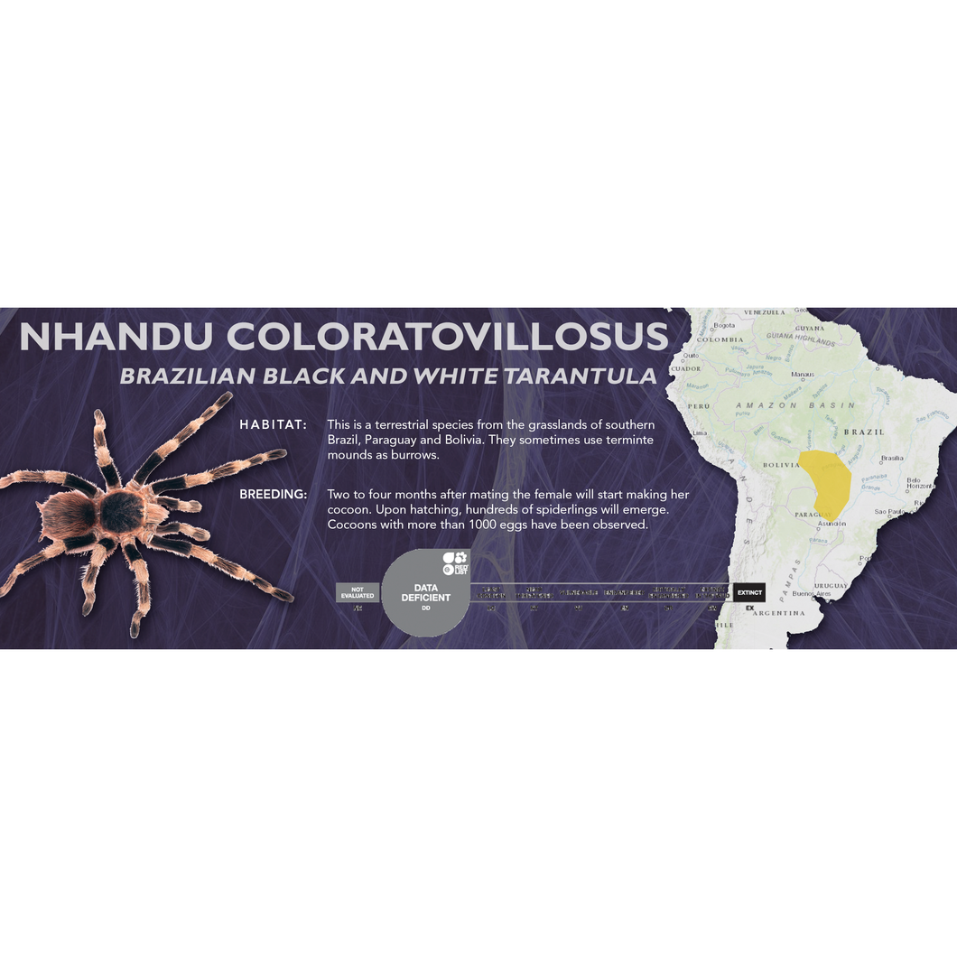Brazilian Black and White Tarantula (Nhandu coloratovillosus) - Standard Vivarium Label