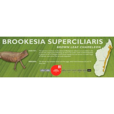 Brown Leaf Chameleon (Brookesia superciliaris) Standard Vivarium Label