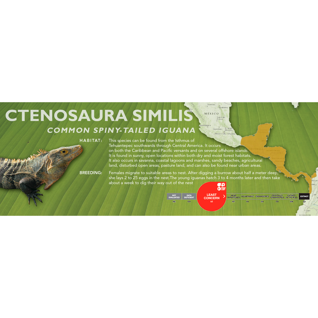 Common Spiny-Tailed Iguana (Ctenosaura similis) Standard Vivarium Label
