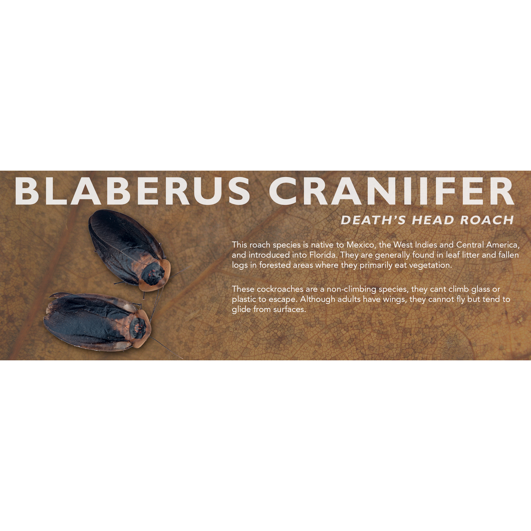 Blaberus craniifer (Death's Head Roach) - Roach Label