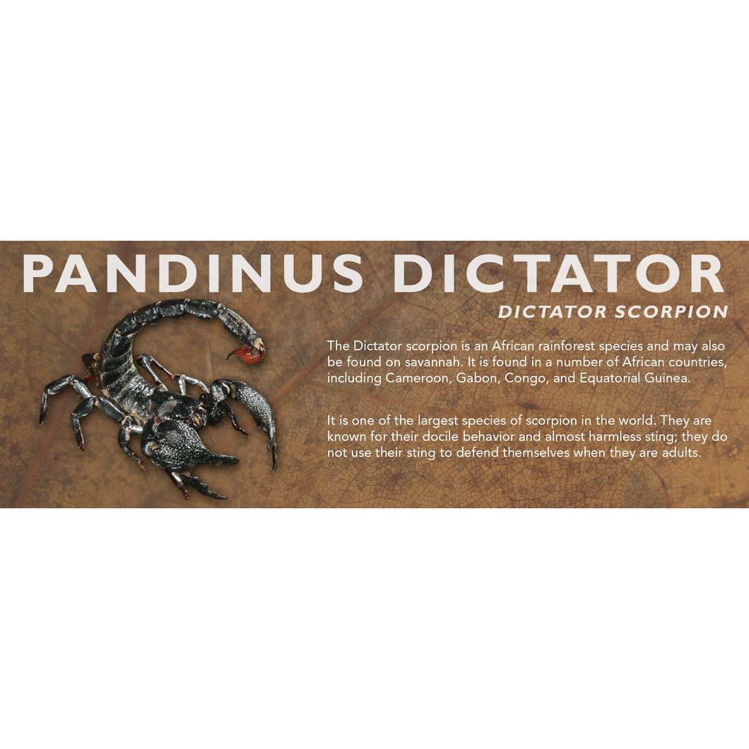 Pandinus dictator - Dictator Scorpion Label