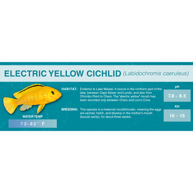 Electric Yellow Cichlid (Labidochromis caeruleus) - Standard Aquarium Label