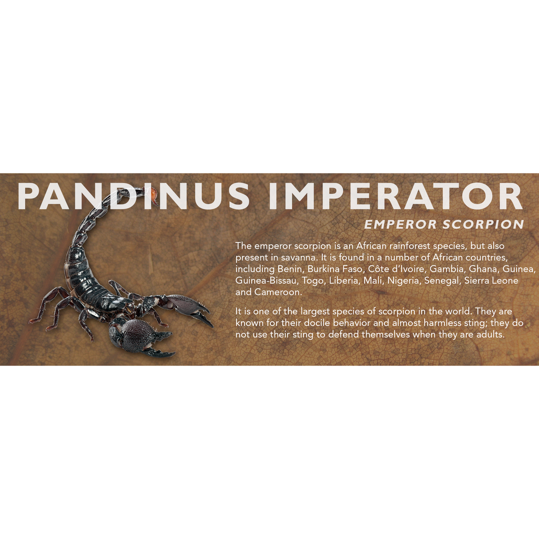 Pandinus imperator - Emperor Scorpion Label