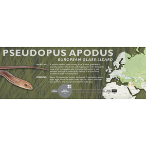 European Glass Lizard (Pseudopus apodus) Standard Vivarium Label