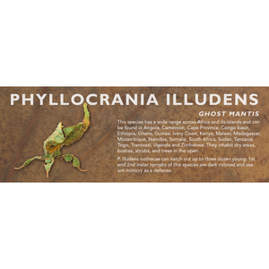 Phyllocrania illudens (Ghost Mantis) - Mantis Label