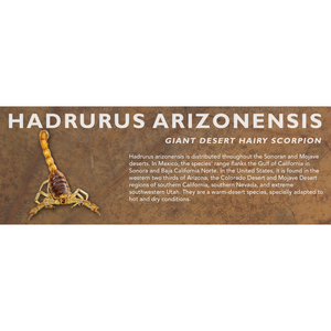 Hadrurus arizonensis - Giant Desert Hairy Scorpion Label