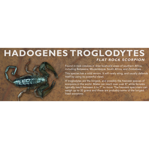 Hadogenes troglodytes - Flat Rock Scorpion Label