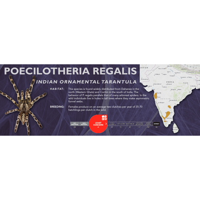 Indian Ornamental Tarantula (Poecilotheria regalis) - Standard Vivarium Label