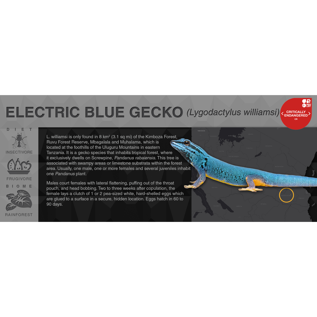 Electric Blue Gecko (Lygodactylus williamsi) - Black Series Vivarium Label